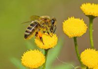 Bite ir pasludināta par vissvarīgāko dzīvo būtni uz planētas; Izzuduši jau 90% bišu uz Zemes