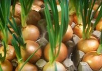 Augsne nebūs nepieciešama! Ļoti efektīvs veids, kā mājās audzēt sulīgus lociņus!
